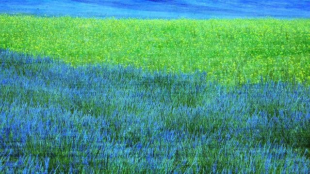 Giocando con i colori in un campo di lavanda...Playing with colors in a field of lavender ...