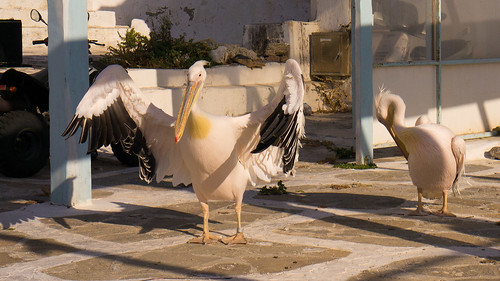 The pelicans of Mykonos | by brookscl