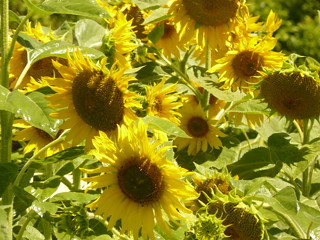 sunflowers:Sustainability Institute | by guba.swaziland