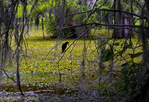 lake tree bird caw moss louisiana branch lafayette martin creepy spooky spanish swamp perched crow raven blackbird nevermore