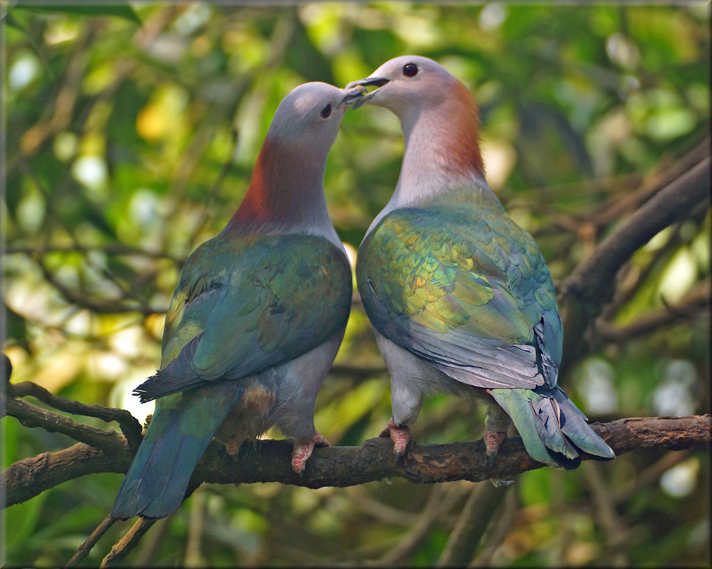 Green imperial pigeon | The green imperial pigeon (Ducula ae