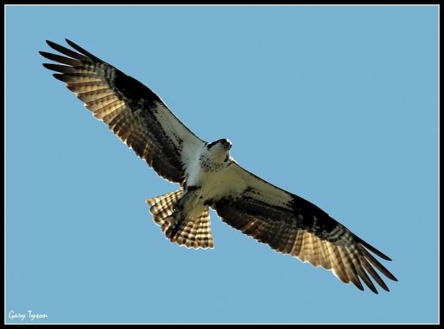 Backlit Osprey (Hills Creek SP, PA)