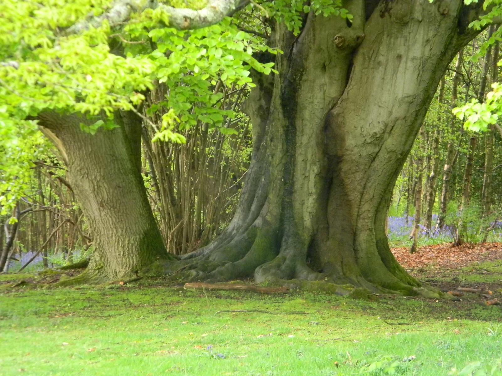 Big tree near the viewpoint Borough Green to Sevenoaks (composite walk)