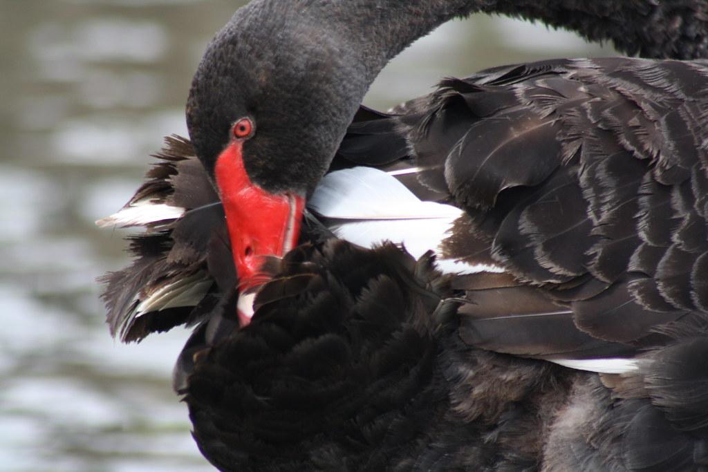 Black Swan. Cygnus atratus.
