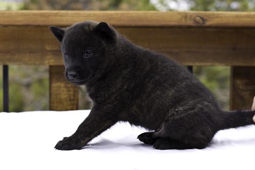 Ayu-Litter3-Day30-Puppy1-Male-c   by brada1878