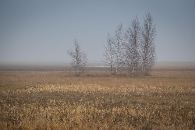 winterliche Birken im Seewinkel