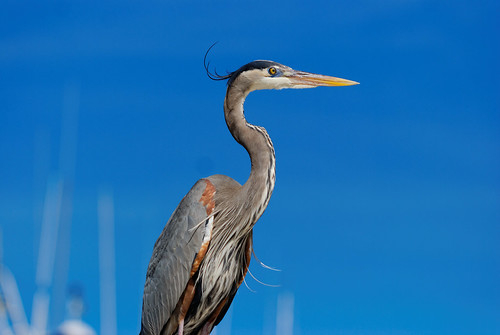 Great Blue Heron | by MannysPhotography