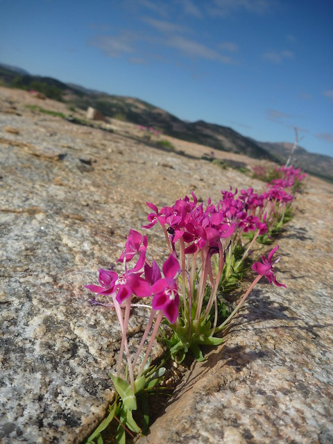 Lapeirousia silenoides - W Springbok 2011
