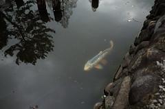 fish in Zenpukuji Park, Tokyo