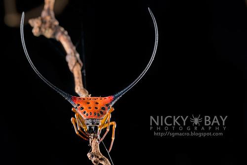 Spiny Back Orb Weaver (Macracantha arcuata) - DSC_3295   by nickybay