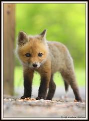 Red Fox Kit- Vulpes vulpes