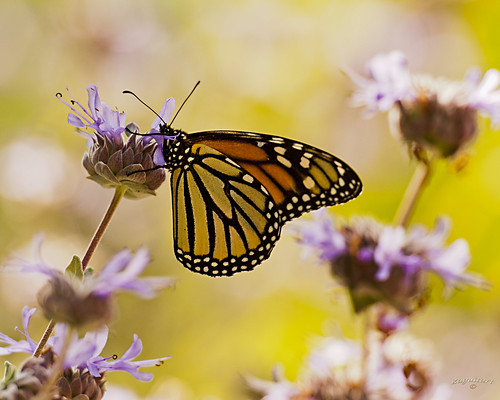 nature butterfly nikon solano monarchbutterfly putahcreek d700 nikon70200mmf28 nikontc20iii