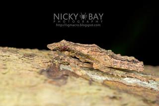 Planthopper nymph (Fulgoridae) - DSC_4018