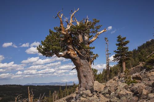 landscape scenic screeslope ancientlimberpine sheepmountaincolorado