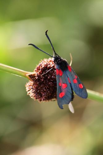 Narrow-bordered Five-spot Burnett Moth | by Paul Marfell
