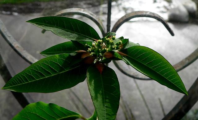 semis de Euphorbia pulcherina 12361915973_1349ae0f55_z
