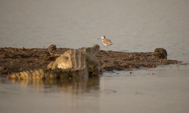 Marsh Sandpiper, Tringa stagnatilis, Msuna Fishing Resort, Zambezi River, Zimbabwe