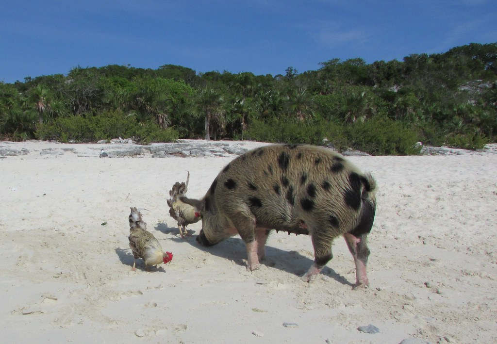 Swimming pigs, Big Major Cay | Venture Minimalists | Flickr