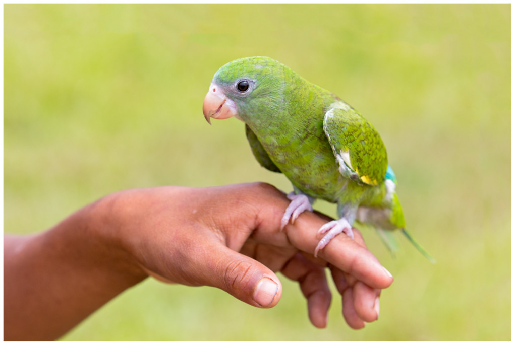 White-winged Parakeet - Witvleugelparkiet (Brotogeris versicolurus)