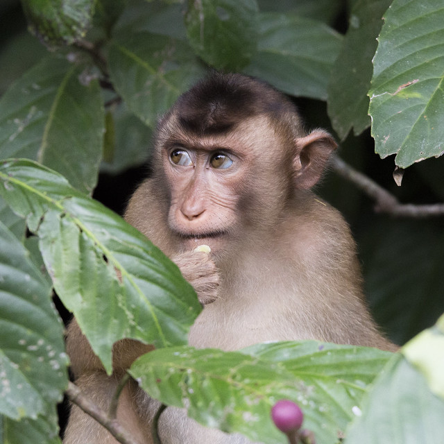 Infant Long Tailed Macaque