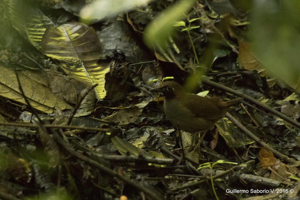 Formicarius analis / Black-faced Antthrush / Gallito Hormiguero Carinegro