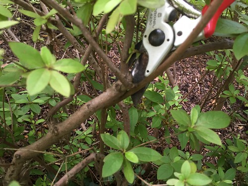 Azalea pruning time | by dogwood*designer
