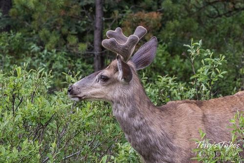 Mule Deer buck in the brush   by TonysTakes