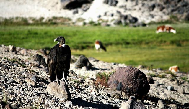 Condor Andino Hembra - Female Andean Condor