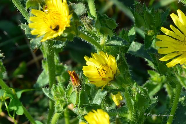 Fleur sauvage ou fleur du jardin ?