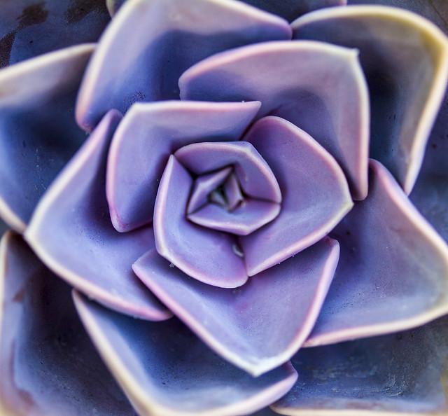 Feelin' Blue #1 - Succulent Bloom