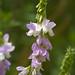 Flickr photo 'Galega officinalis MJH607-C011' by: Sarah Gregg Petriccione.