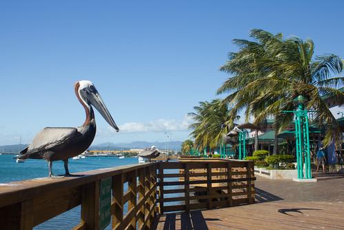 city sea urban bird water port puerto mar waterfront puertorico rico ave tropical boardwalk caribbean pajaro ponce pardo caribe occidentalis pelecanus pelícano tablado guancha