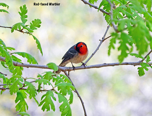 -Warbler-Red-faced-OCC, Coconino Co., AZ   by Tricolor Brian