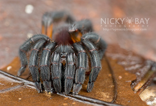 Brush-Footed Trapdoor Spider (Barychelidae) - DSC_4095 | by nickybay