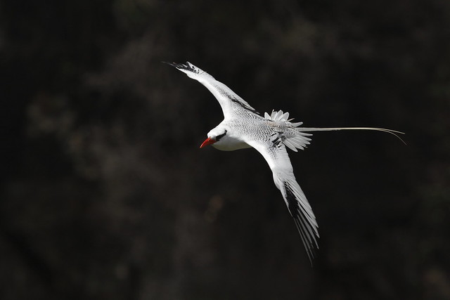 the famed red billed tropicbird