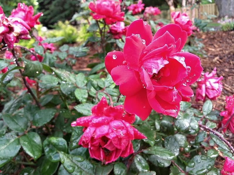 rosh bushes