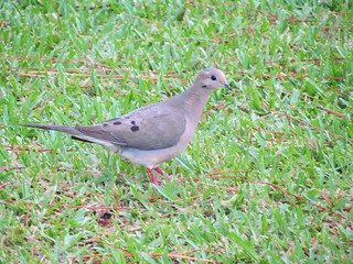 Mourning Dove (Zenaida macroura) | by TaranRampersad