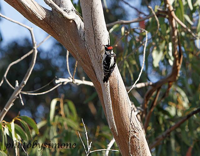 Woodpecker #2255