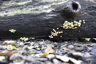 Fungi on a log in Sharphill Wood   by Guy R
