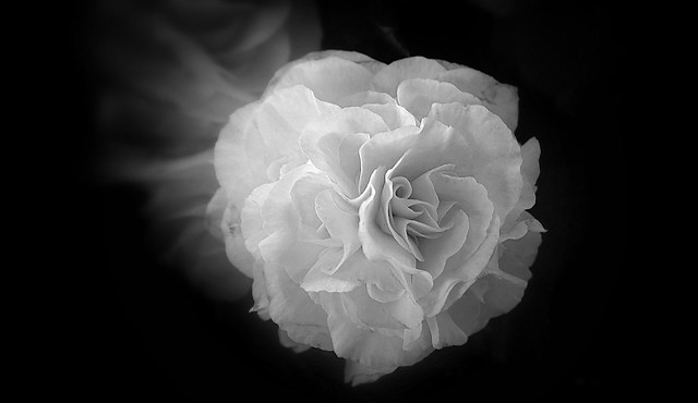 Close up petal flower, black and white.
