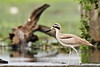 Great Thick-knee by Thomas.Gut