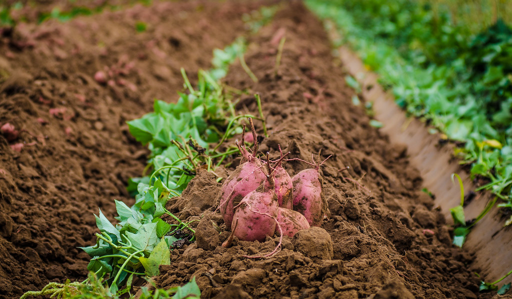 Do Sweet Potatoes Grow Underground