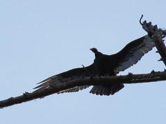 Turkey Vulture (Cathartes aura) Big Sur, California