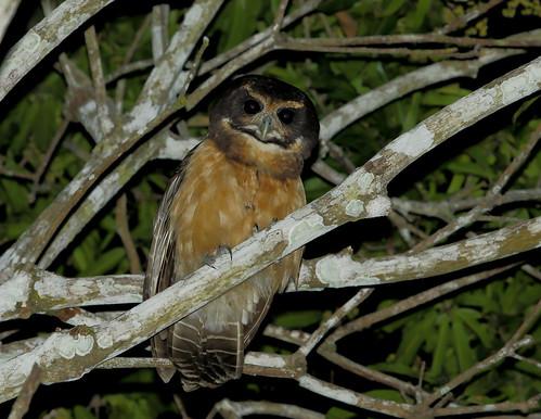 Tawny-browed owl/Murucututu-de-barriga-amarela/Lechuzón mocho chico (Pulsatrix koeniswaldiana)