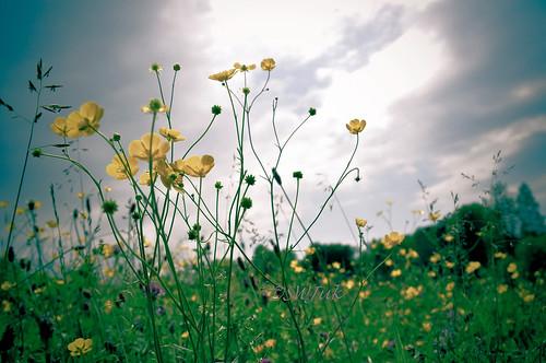 uk summer england home crossprocessed nikon lancashire wildflowers rowley lightroom buttercups burnley d90 2013 nikond90 rowleylake myfreecopyright swjuk jun2013
