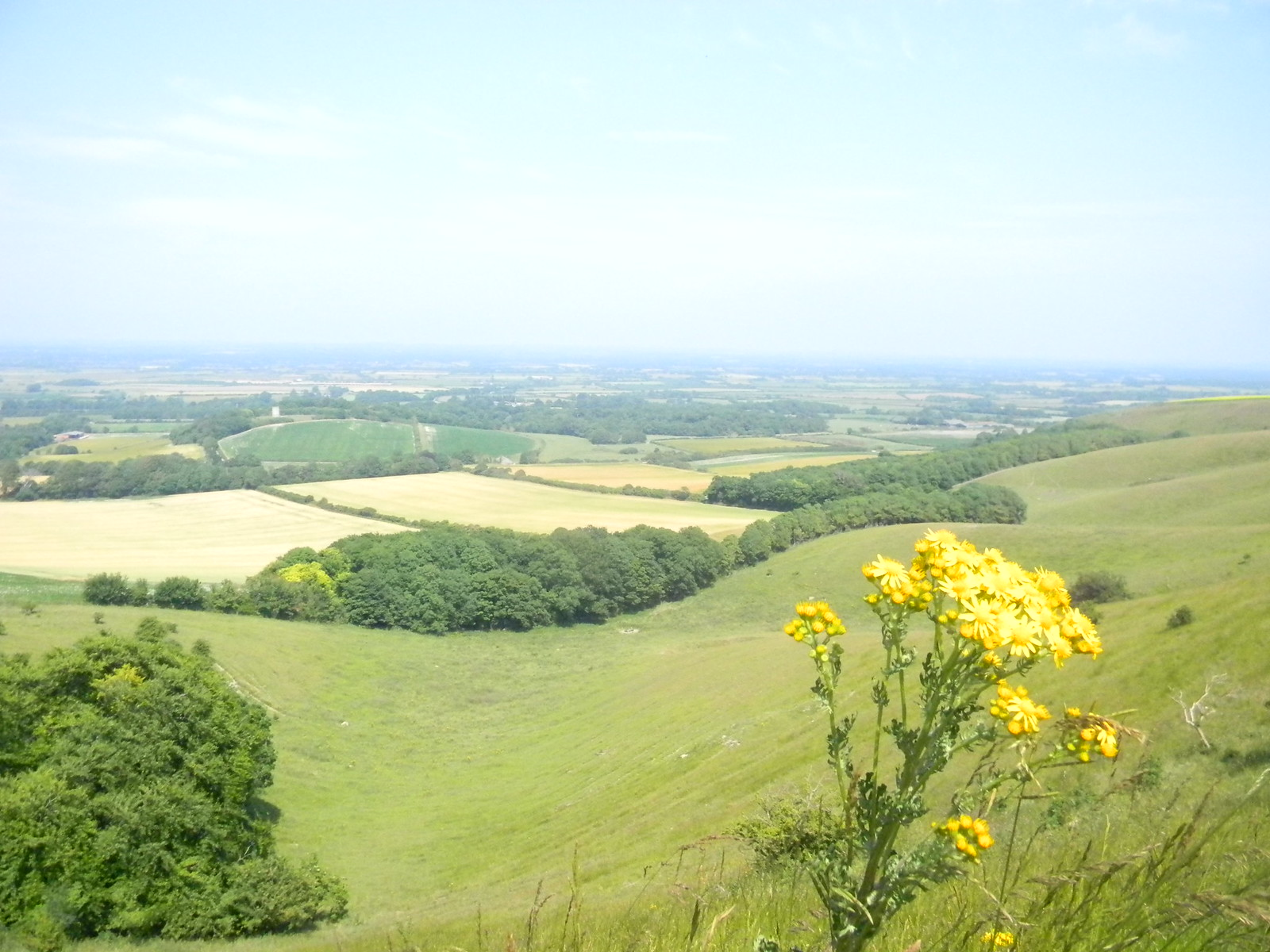 Ragwort on the climb Lewes to Seaford (composite route)