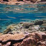 Corals, Niue