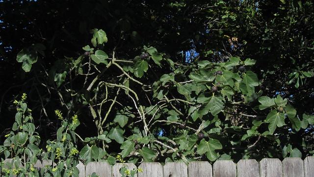 IMG_3985 goleta dressler fig tree