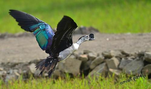 comb duck flight