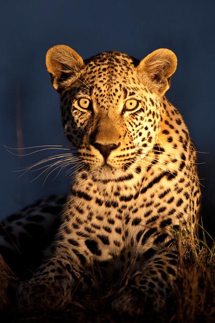 Next: Night Leopard